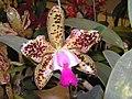 Potinara Green Emerald Queen -香港沙田洋蘭展 Shatin Orchid Show, Hong Kong- (9255179292).jpg