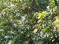 Pouteria campechiana D8195.jpg