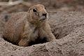 Prairie hond (3903600579).jpg