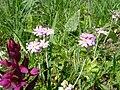Primula farinosa 1.jpg