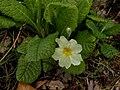 Primula vulgaris 126663809.jpg