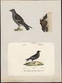 Procellaria pelagica - 1700-1880 - Print - Iconographia Zoologica - Special Collections University of Amsterdam - UBA01 IZ17900040.tif