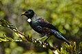 Prosthemadera novaeseelandiae -Stewart Island, New Zealand-8.jpg