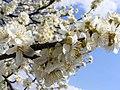 Prunus-Cerasifera-Flowers 52826-480x360 (4817517650).jpg