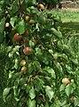Prunus-armeniaca-20090606 1.jpg