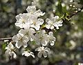 Prunus cerasus LC0017.jpg