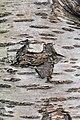 Prunus cerasus Montmorency tree bark 14.jpg