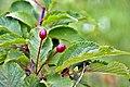 Prunus nipponica 01.jpg