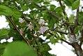 Prunus serulata kwanzan 4zz.jpg