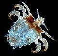 Pthirus pubis, crab louse.jpg