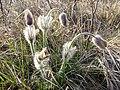 Pulsatilla pratensis (subsp. nigricans) sl44.jpg