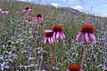 Purple Coneflower (14725921304) (2).jpg