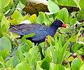 Purple Gallinule (14830616835).jpg