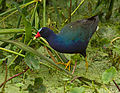 Purple gallinule, High Island, Texas.jpg