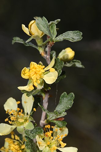 Purshia tridentata - The yellow flowers have five petals and darker yellow anthers (Wenas Wildlife Area).