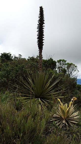 Puya (plant) - Puya goudotiana, Páramo of Guasca, Colombia