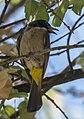 Pycnonotus xanthopygos-2.jpg