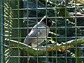 Pycnonotus xanthopygos 0001.jpg