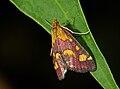 Pyrausta purpuralis 02.jpg
