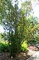 Quadrella cynophallophora (Capparis cynophallophora) - Marie Selby Botanical Gardens - Sarasota, Florida - DSC01378.jpg