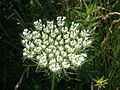 Queen Anne's lace in southern Maine.jpg