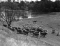 Queensland State Archives 2152 Wivenhoe Crossing Fernvale Upper Brisbane River 1945.png
