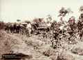 Queensland State Archives 2237 Arrowroot field with three workers and wagon Coomera River 1897.png