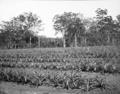 Queensland State Archives 2626 Training farm Beerburrum October 1918.png