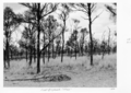 Queensland State Archives 4392 First ringbark Tiree 1952.png