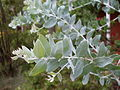 Queensland silver wattle (3125010310).jpg
