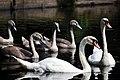 Queensmere Swans, Aug 2011 (6005101969).jpg