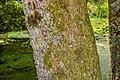 Quercus acutissima in Eastwoodhill Arboretum (1).jpg