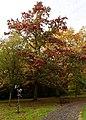 Quercus coccinea 'Splendens', Beale Arboretum, West Lodge Park, Hadley Wood, Enfield London.jpg