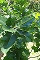 Quercus pontica kz5.jpg