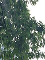Quercus rubra (Red Oak) C33-1.jpg