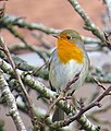Rödhake Robin (13041342583).jpg
