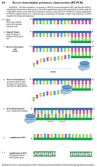 Reverse transcription polymerase chain reaction - RT-PCR