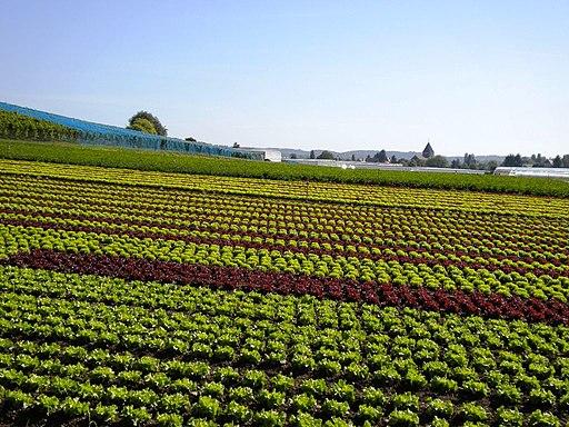 Gemüsefelder auf der Insel Reichenau