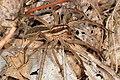 Rabid Wolf Spider - Rabidosa rabida, Meadowood Farm SRMA, Mason Neck, Virginia (38618261741).jpg