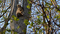 Raccoon (Procyon lotor) - Kitchener, Ontario 03.jpg
