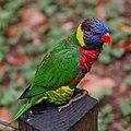 Rainbow Lorikeet Trichoglossus haematodus Perched 1900px.jpg