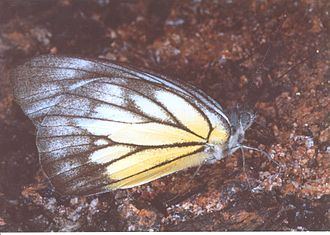 Fauna of Borneo - Butterfly