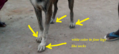 Ramanathapuram mandai dog identity with white socks like mark in four legs.png