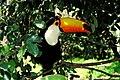 Ramphastos toco -Gramado Zoo, Brazil-8a.jpg