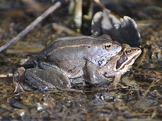 Moor frog - A pair of moor frogs in amplexus near Hamburg, Germany.