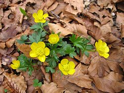 RanunculusNemorosus.jpg