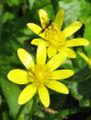 Ranunculus ficaria Flowers closeup 02.jpg