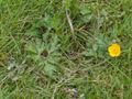 Ranunculus repens(04).jpg