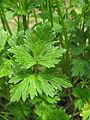 Ranunculus repens leaf1 ST (16075754785).jpg
