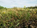 Ranunculus sardous subsp. sardous sl29.jpg